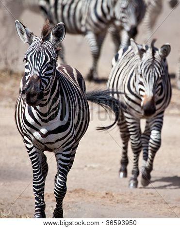 Zebras on the Run