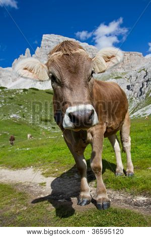 The cow on a summer pasture in Dolomiti mountain