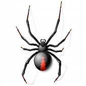 picture of black widow spider  - Black Widow spider - JPG