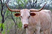 image of mesquite  - a Longhorn cow standing in a pasture under mesquite trees - JPG