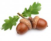 stock photo of acorn  - Dried acorns with leaves - JPG