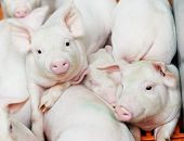 foto of pig-breeding  - group of young piglet at pig breeding farm - JPG