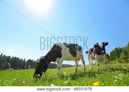 Vacas pastando en un prado de primavera en un día soleado