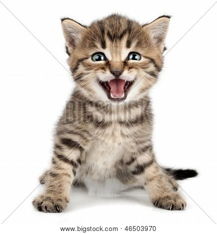 Beautiful Cute Little Kitten Meowing And Smiling