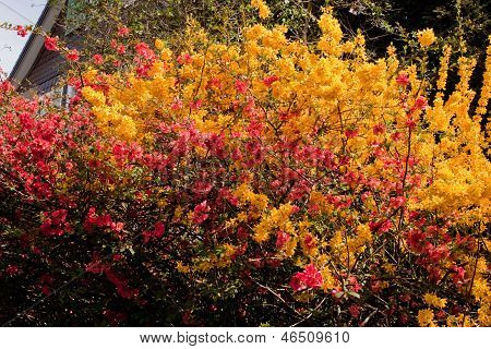 Japanese Quince And Forsythia