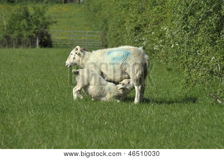 Sheep And Lamd