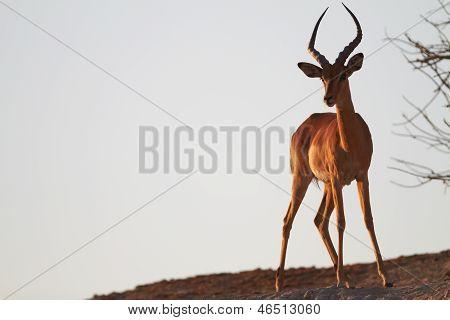 Impala On Ridge