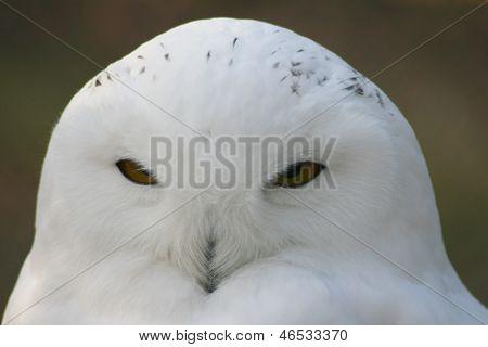 Snowy Owl, (nyctea Scandiaca)