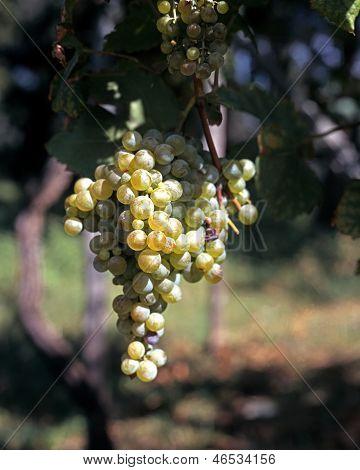 White grapes on vine, Italy.