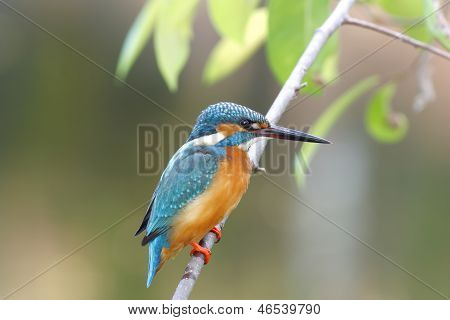 Common Kingfisher Alcedo Atthis Male