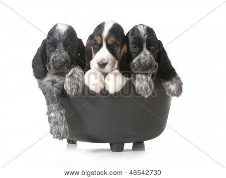 litter of puppies - three english cocker spaniel puppies in a black kettle isolated on white background - 7 weeks old