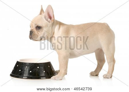 dog dinner time - french bulldog puppy standing at dog food bowl isolated on white background