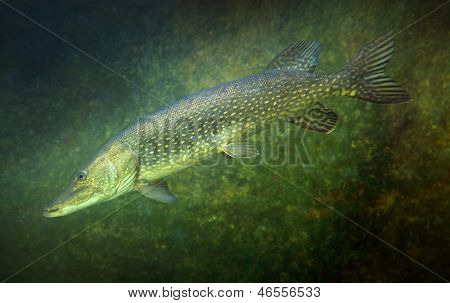 Underwater photo of a big Northern Pike (Esox Lucius).