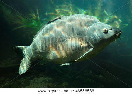 Fotografia subaquática de um troféu de carpa espelho (Cyprinus Carpio), banhos de sol quase ao nível de um lago com peixes