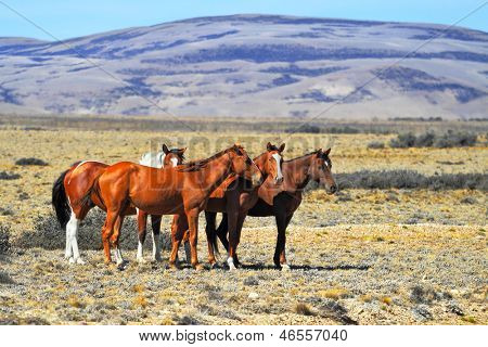 Patagonian pampas on a summer day. The herd of wild mustangs