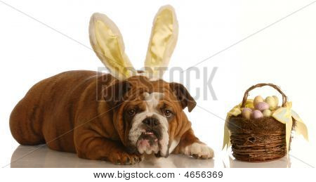 Bulldog Dressed As Bunny With Easter Basket