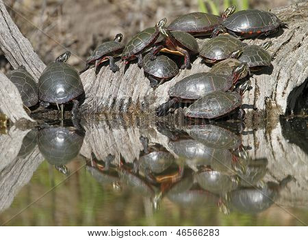 Group Of Midland Painted Turtles On A Log