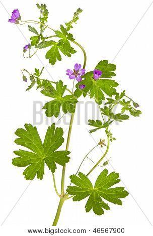 Isolated Malva Sylvestris Plant
