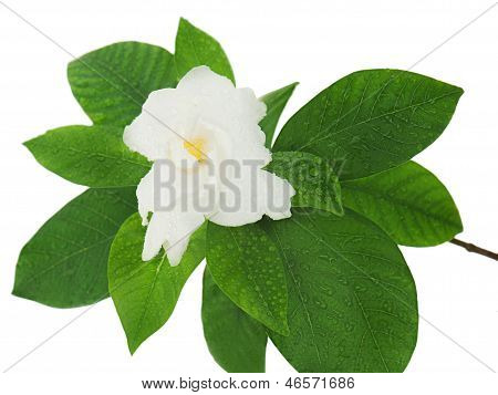 Gardenia Flower (gardenia Jasminoides) Isolated On White Background.