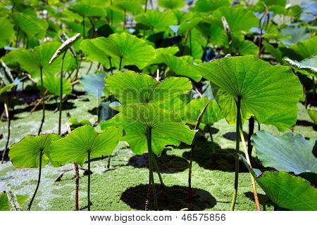 Leaves Of Lotus Plants