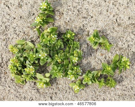 Blossoms Of The Sea Sandwort On The Beach, Honckenya Peploides