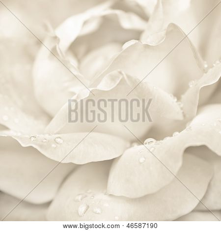 Abstract Macro Shot Of Beautiful Cream Rose Flower With Water Drops. Floral Background