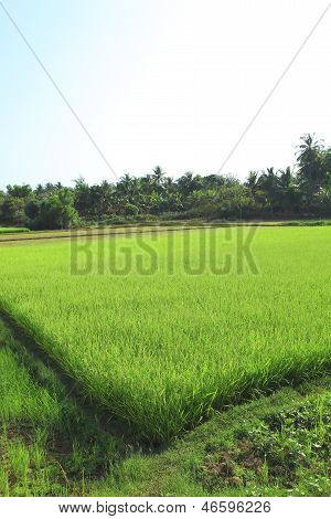 Ricefield With Bright Juicy Shoots Of Rice