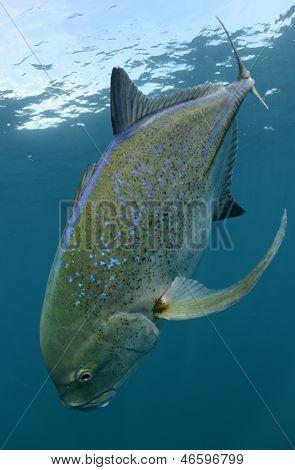 Bluefin Trevally Fischen, Schwimmen und ihr Lebensraum