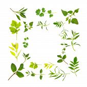 pic of hyssop  - Herb leaf selection forming a border over white background - JPG