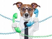 picture of white terrier  - dog tangled in a telephone and cable chaos - JPG
