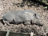 foto of pot bellied pig  - A young vietnamese pot - JPG