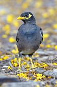 Common Myna Acridotheres Tristis