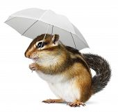 image of chipmunks  - Funny chipmunk with umbrella on white weather concept - JPG