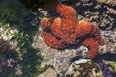 stock photo of echinoderms  - Beautiful Orange Starfish in Shallow Tide Pool - JPG