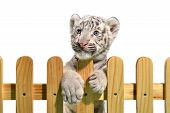 foto of white tiger cub  - white bengal tiger and wooden fence isolated on white background - JPG
