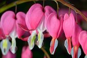 stock photo of lyre-flower  - Pink flower - JPG