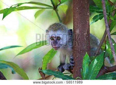 Velvet Monkey Baby