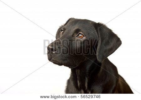 black labrador puppy