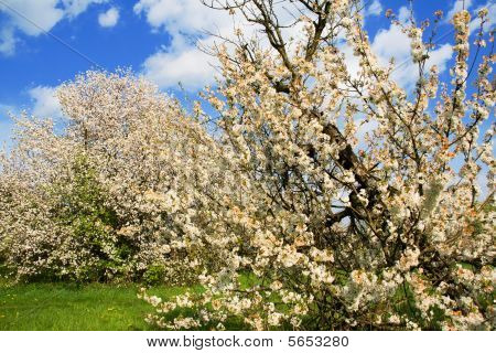 Blossoming apple tree
