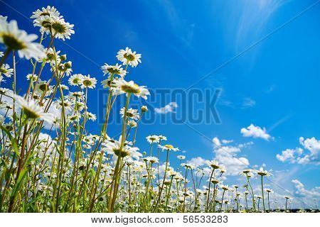 Summer Rural Landscape With A Blossoming Meadow And The Blue Sky