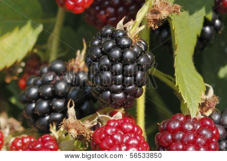 Blackberry (Rubus Sectio Rubus)