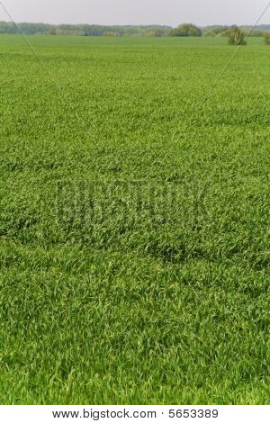 Wheat field (green grass background)