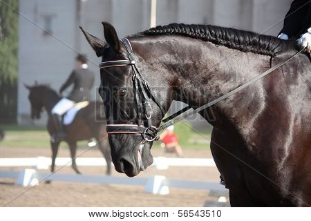 Beautiful Sport Horse Portrait During Dressage Test