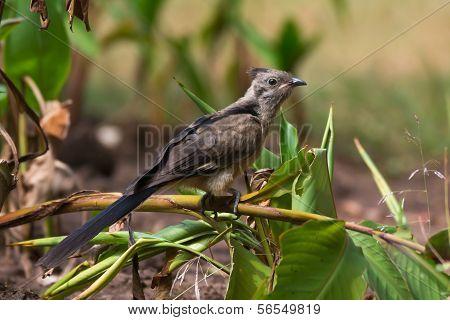 Juvenile Levaillant's Cuckoo (clamator Levaillantii)