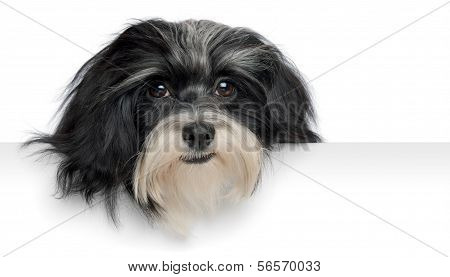 Smiling Havanese Puppy Dog Head