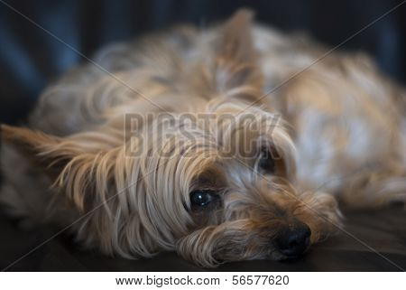 Close Up Of  Yorkshire Terrier Resting.