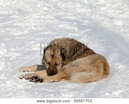 Dog Sleeping On Ski Slope