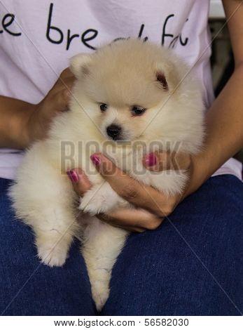 White Puppy Pomeranian On Hand