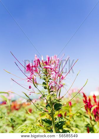 Cleome Spinosa Linn Or  Spider Flower