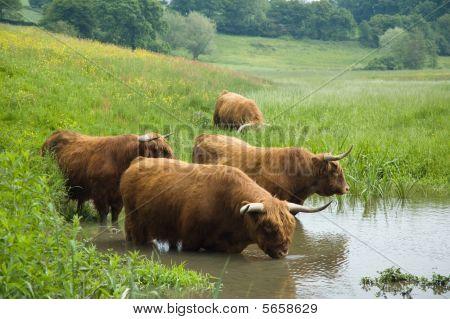 Highland Steers